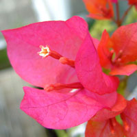 Plants in the bahamas bougainvillea comes in many colours from white to yellow and orange to deep pink and purple the delicate paper like flowers grow on thorny vines that can mightylinksfo